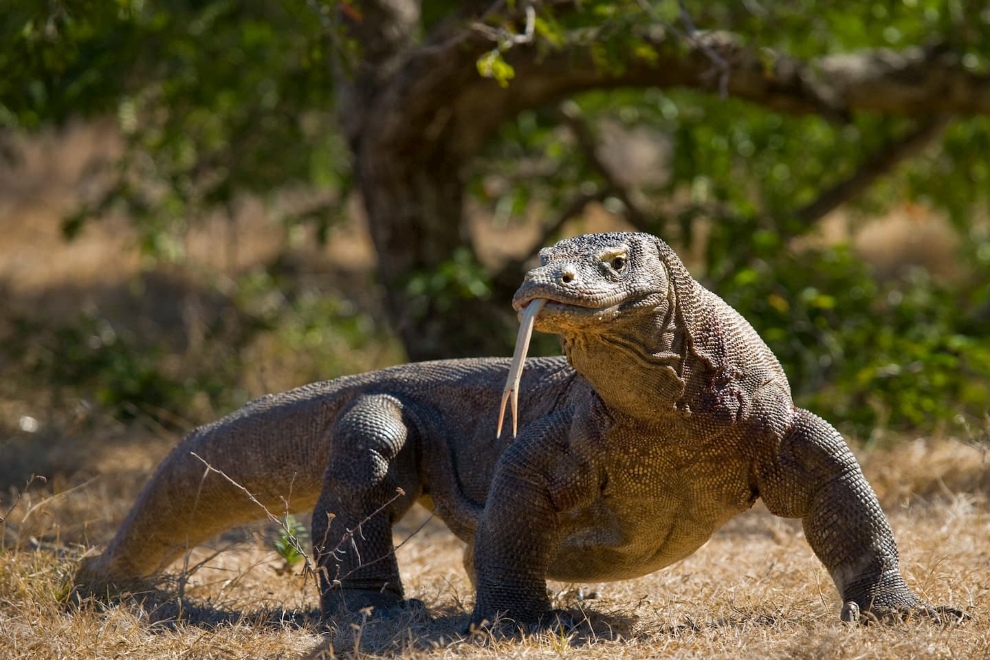 photo of a komodo dragon