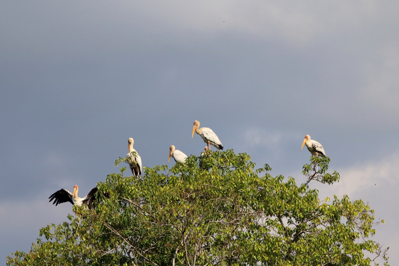 Milky storks standing atop mangrove trees in Sungei Buloh nature reserve, Singapore.