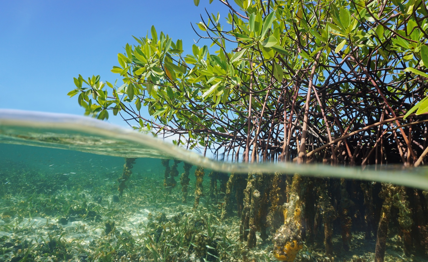 Mangrove trees in the Caribbean sea, Panama, Central America.