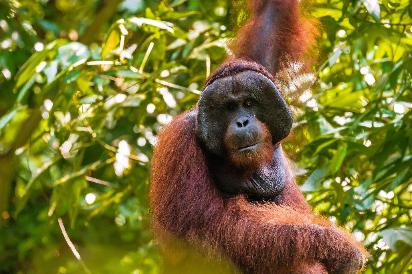 Indonesia's new capital threatens Borneo's orangutans, people, and dolphins