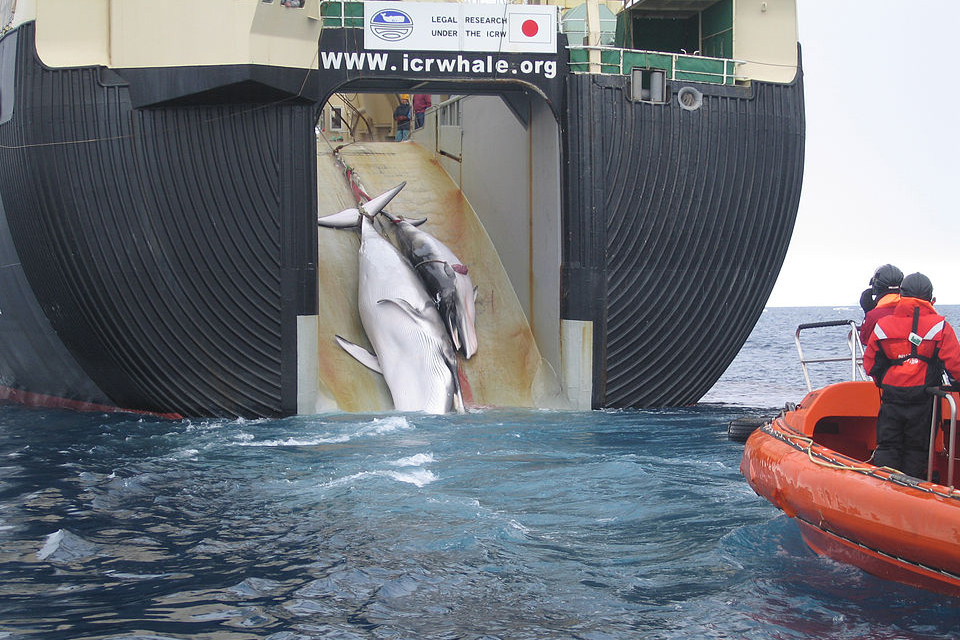 image of a whale getting caught