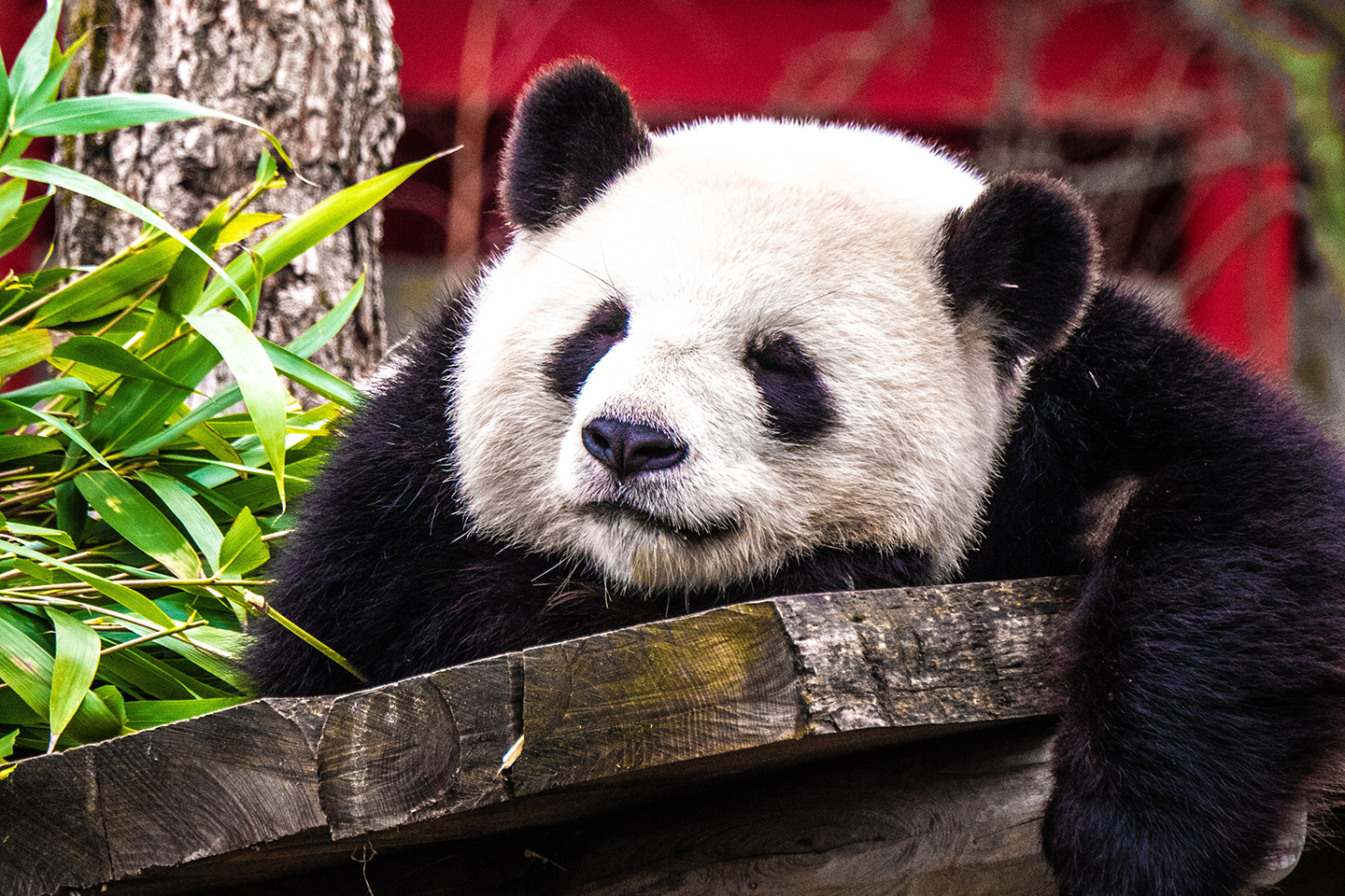 Panda diplomacy: Gifting pandas to further China's politics